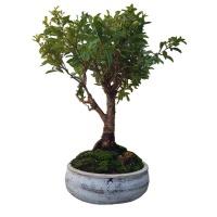 Eugenia Bonsai Tree - Australian Berry Bush - Brush Cherry Bonsai tree Photo