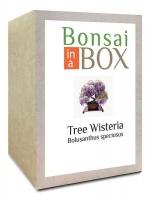 Bonsai in a box - Wisteria Tree Photo