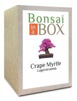 Bonsai in a box - Crape Myrtle Photo