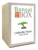 Bonsai in a box - Umbrella Thorn Tree Photo