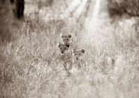 workART Curated Photographic Canvas - Lion Cubs by Rodger Williams Photo