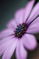 gerbera daisy flower journal Cs Creations